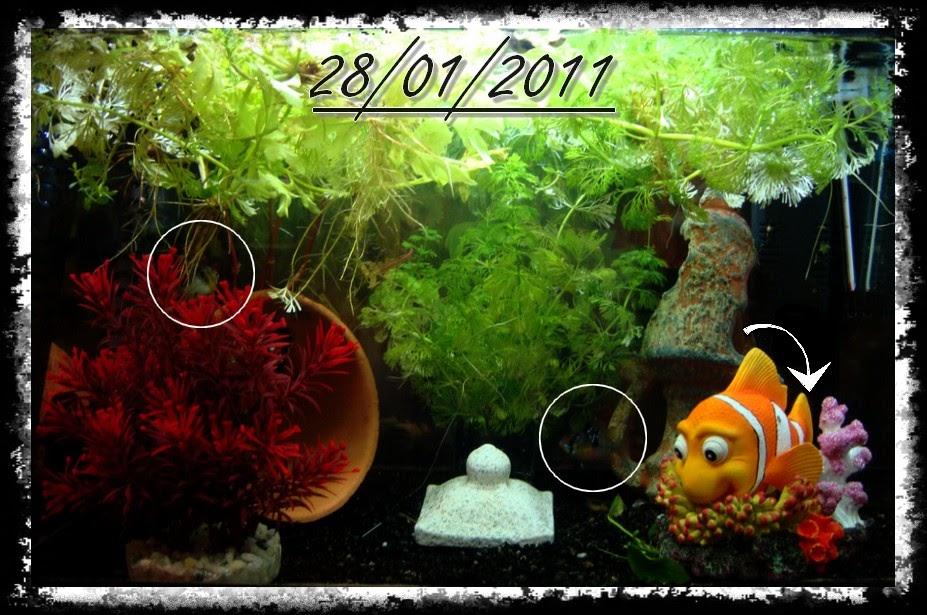 Bienvenue dans notre aquarium les ramirezis et leurs for Se portent pour saluer