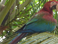 Macaws need more habitat