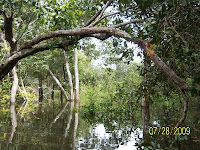Magical inundation forest at natural reserve site