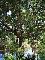 Native flowering Cocomono tree