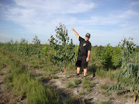 Plantation Eucalytus pellita