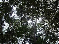 View of natural tropical forest canopy absorbing carbon