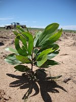 Tropical tree planted in infertile sand