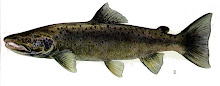 Maine State Fish:  Atlantic Salmon