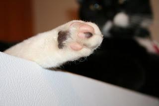 tuxedo paw