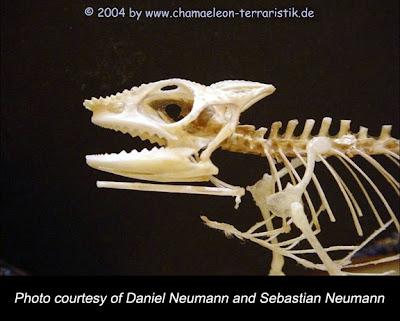 panther chameleon skull