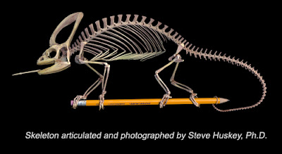 Veiled chameleon skeleton - photo#5