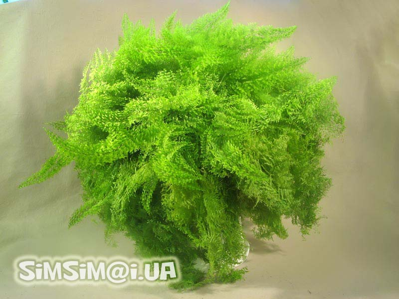Beauty will save the world nephrolepis exaltata 39 marissa 39 - Nephrolepis exaltata ...
