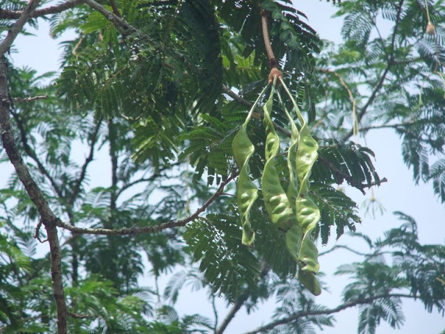 sataw beans on the tree