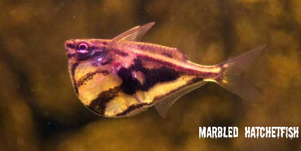 marbled hatchetfish marbled headstander neon tetra one lined pencil ...