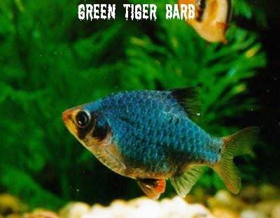 black tiger barbus ticto checkered barb cherry barb golden barb