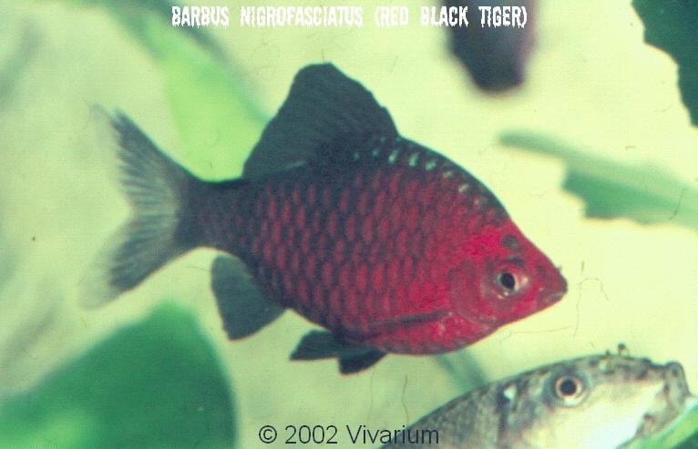 banded barb albino checker barb albino tiger barb arulius barb