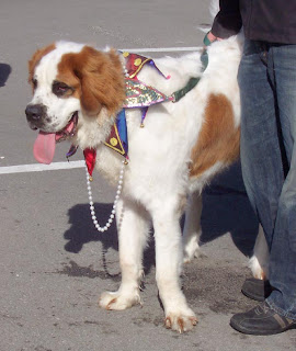 Saint Bernard with a court jester's collar.