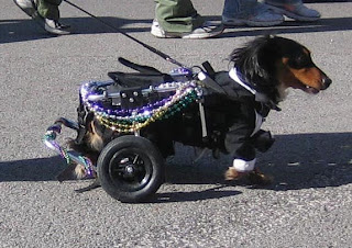 Black dog in tux with white collar, white cuffs on front paws and black wall tires on the carriage that replaces his paralyzed back legs.