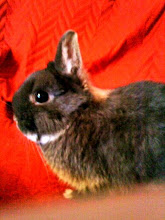 Buzz Eddy's Dwarf Rabbit