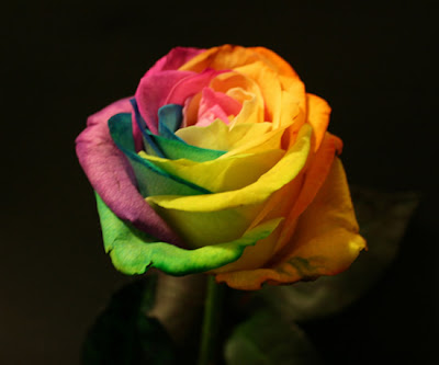 กุหลาบ สีรุ้ง ( Rainbow Roses )