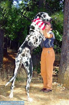 สุนัข สูงที่สุดในโลก
