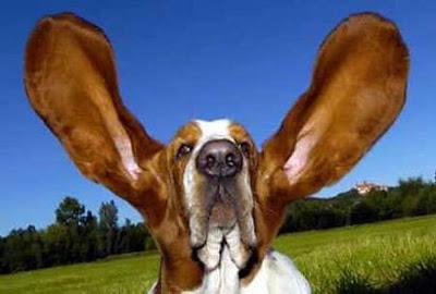 อดีต สุนัข หู ยาวที่สุดในโลก