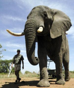 ช้างอัฟริกา สัตว์บก ตัวใหญ่ที่สุดในโลก