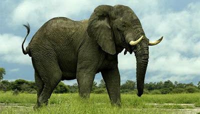 ช้าง สัตว์เลี้ยงลูกด้วยนม ที่ อายุยืนที่สุดในโลก