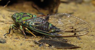 จักจั่น แมลงที่อายุยืนที่สุดในโลก