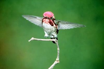 เล็กที่สุดในโลก นกฮัมมิ่งเบิร์ดผึ้ง (Bee Hummingbird )