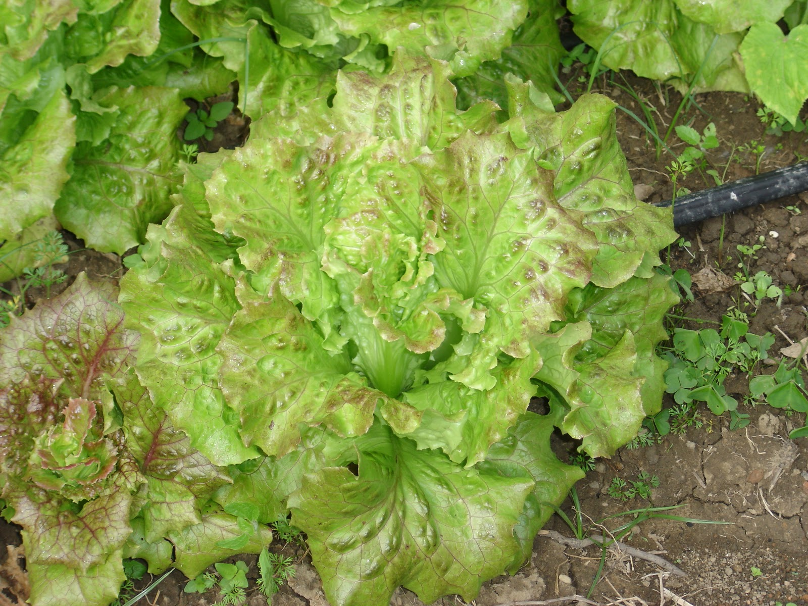 Chez fred potager bio les vari t s de salades du potager 1 - Variete de salade d hiver ...