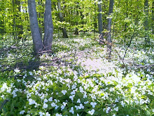 Trilliums in Michigan