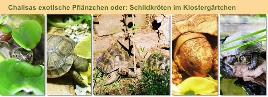 Chalisas exotische Pflänzchen oder: Schildkröten im Klostergärtchen