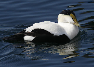 CommonEider800.jpg