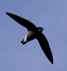 220px-White-throated_Needletail_09a.jpg