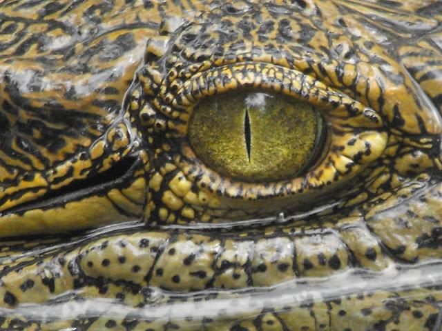 30 Septembre - l'oeil du croco