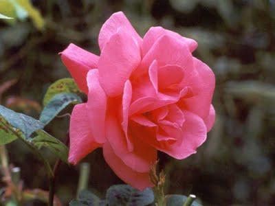 PInk Rose & Glory
