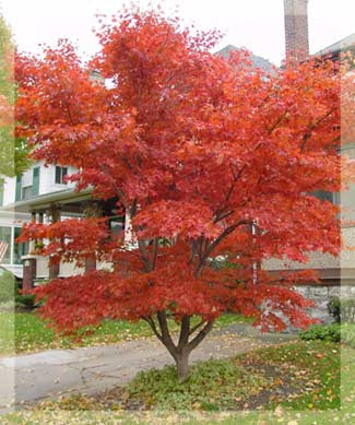 Japanese maples are very