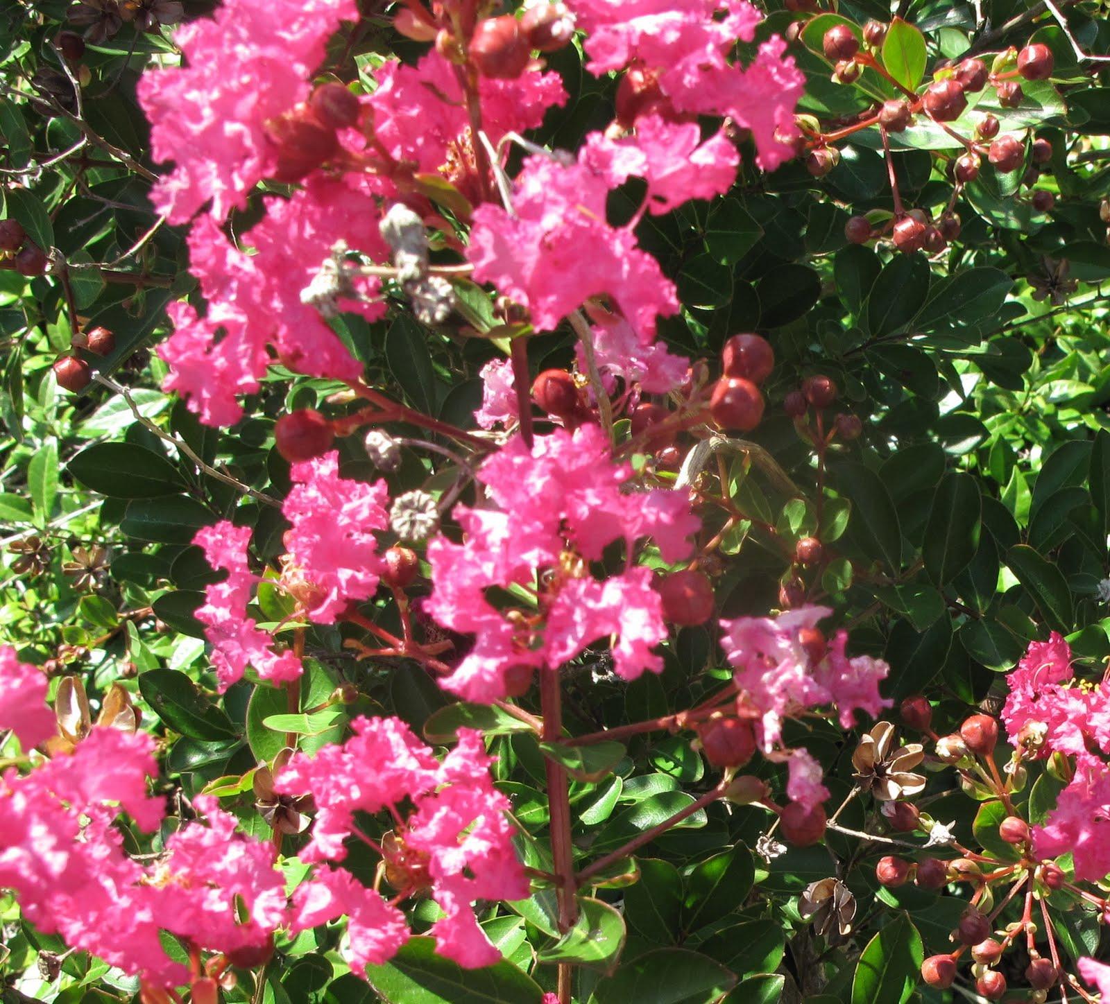 http://3.bp.blogspot.com/_1tuFRR-F61M/TCvqwK1ZJeI/AAAAAAAACso/Wg6RlnILVFg/s1600/pink+crepe+myrtle.jpg