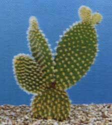Solo cactus 24 12 06 31 12 06 for Cactus tipos y nombres