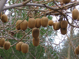 Francesco valori coltivazione del kiwi for Kiwi coltivazione