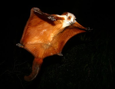 Chinese giant flying squirrel - photo#4