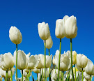 ..tulip idaman..