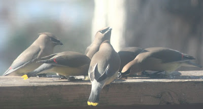 cedar waxwings