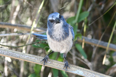 Florida scrub jay - Oscar Scherer State Park