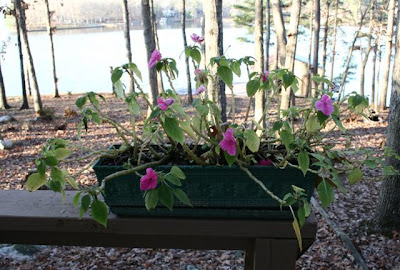 impatiens before frost