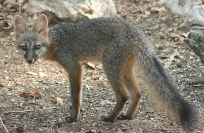 gray fox at Lake Gaston