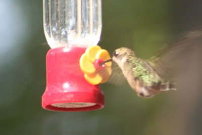 ruby-throated hummingbird drinking from feeder