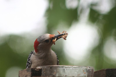 woodpecker eating mealworms