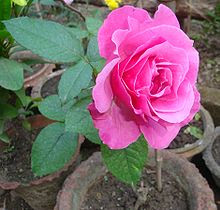 Rose Natural Home Remedies