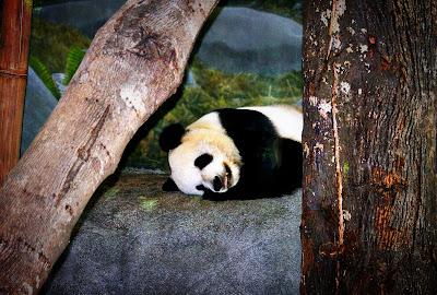 Sweet Panda Bear