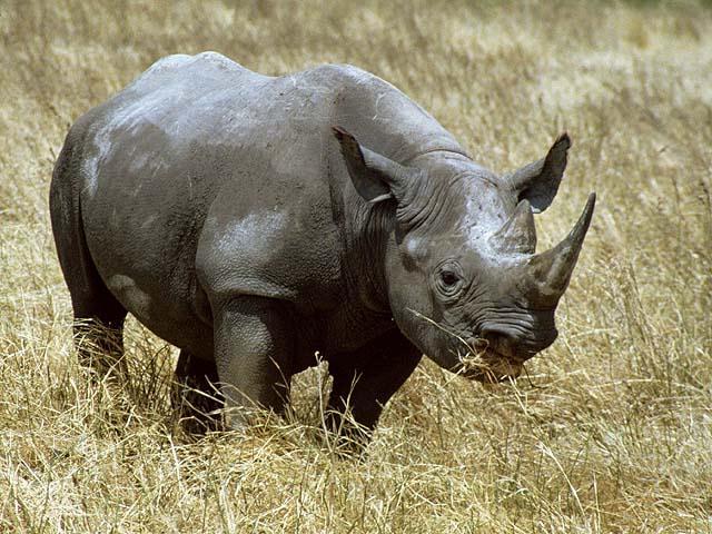 Rinoceronte negro da África ocidental está oficialmente extinto Rhinoceros-1