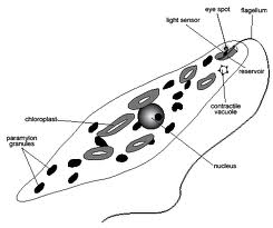 Trypanosoma together with Eukaryota as well General Features Of Euglena Viridis likewise 2724 in addition Protista. on protozoa diagram