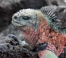Marine Iguana